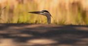 8th Jan 2020 - Blue Heron Peeking Over the Trail!