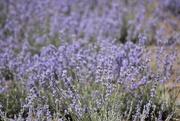 9th Jan 2020 - Lavender