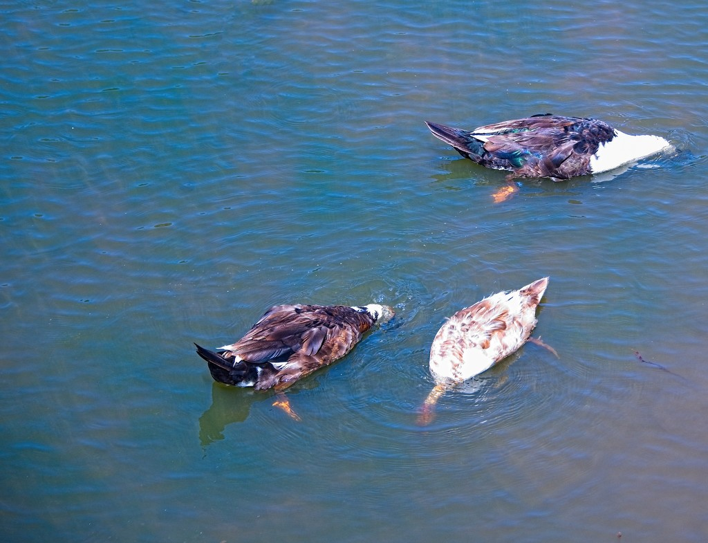 3 Ducks looking for something by fr1da