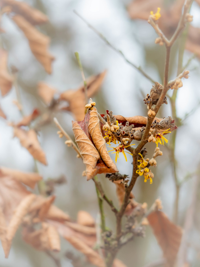 Witch-hazels bloom by haskar