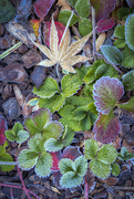 9th Jan 2020 - Frost on Wild Strawberry Leaves