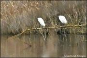 9th Jan 2020 - Little Egrets