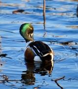 31st Dec 2019 - Colourful duck