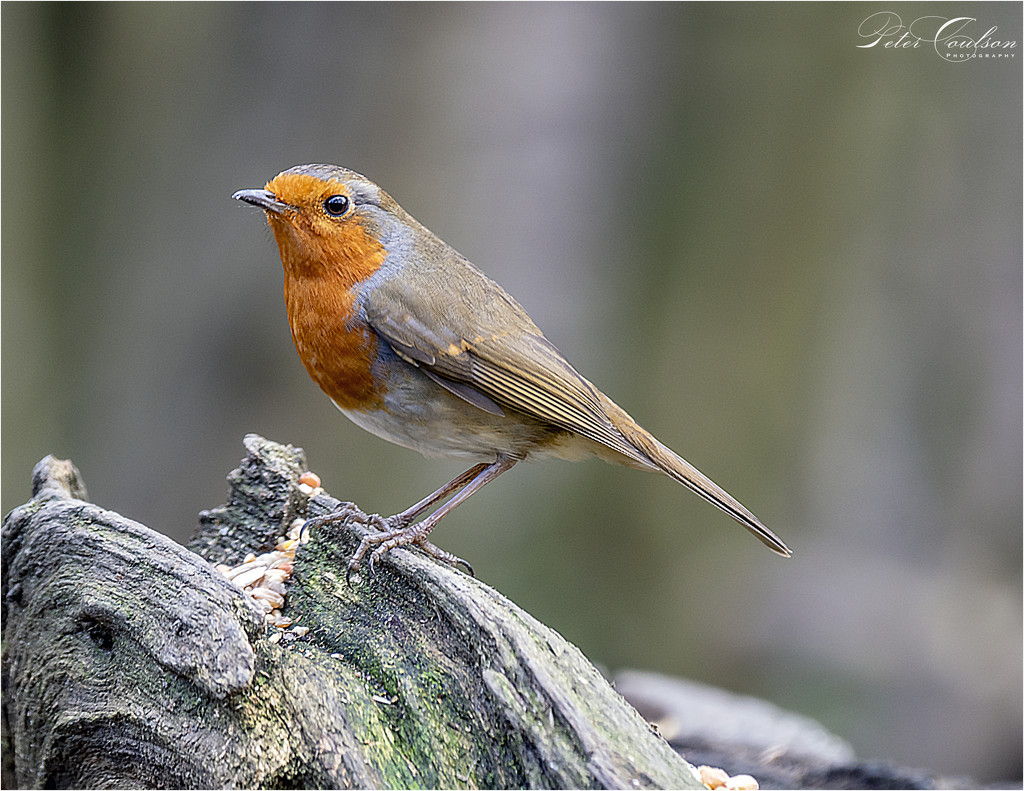 1st Robin of the Year by pcoulson
