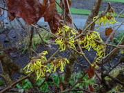5th Jan 2020 - the witch hazel is out