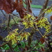 the witch hazel is out