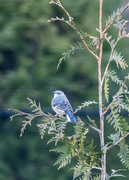 8th Jan 2020 - Mockingbird Surveying his Kingdom