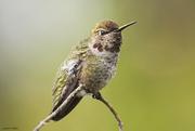 9th Jan 2020 - Anna's Hummingbird Female