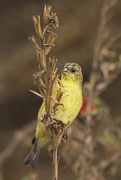 10th Jan 2020 - Lesser Goldfinch Eating Weed Seeds