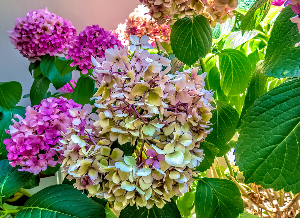 Hydrangeas still hanging in there by ludwigsdiana