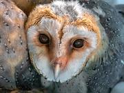 10th Jan 2020 - Southern Barn Owl baby