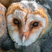 Southern Barn Owl baby