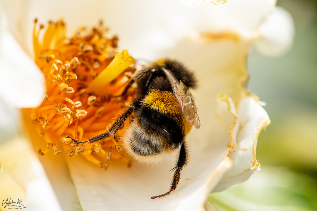 Bees Bum by yorkshirekiwi
