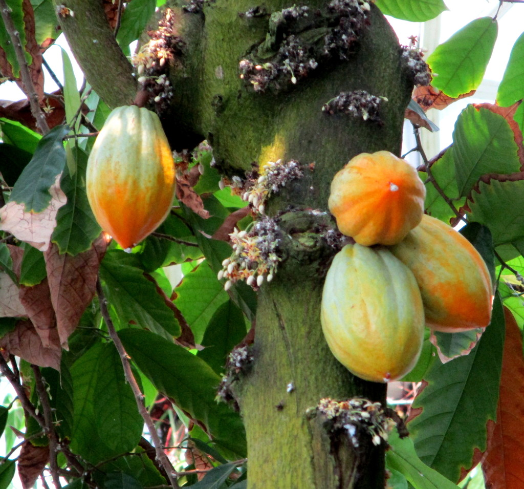 Found these unusual fruit on the trunk of a tree in the Botanical Gardens by 777margo