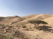11th Jan 2020 - Judean Wilderness tree