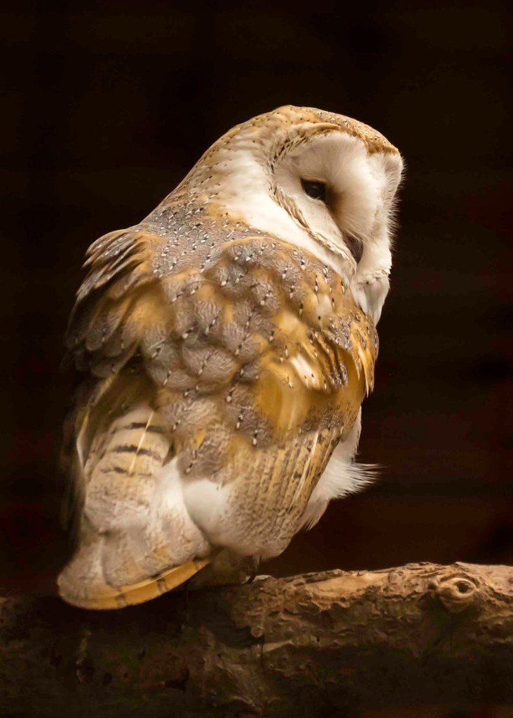 barn owl by shepherdmanswife
