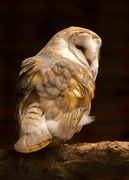 10th Jan 2020 - barn owl