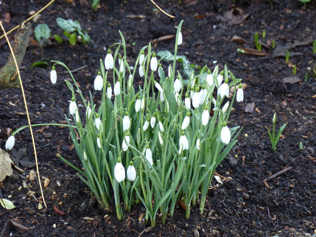 Snowdrops  by foxes37