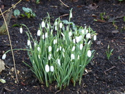 10th Jan 2020 - Snowdrops