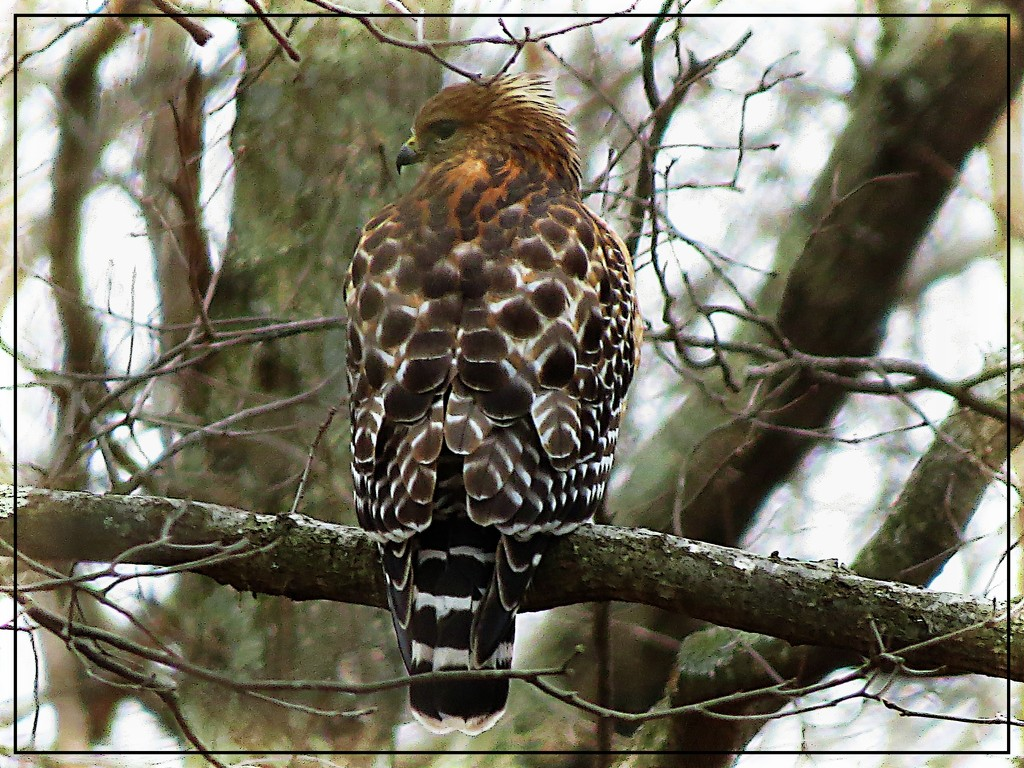 Red Shouldered Hawk by olivetreeann