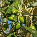 In our olive grove
