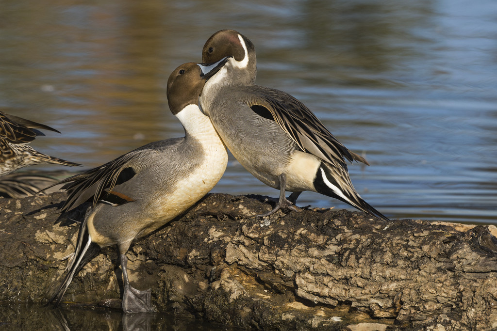 Northern Pintail Males Sparring Over a Female by laurieewilson