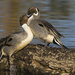 Northern Pintail Males Sparring Over a Female