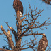 eagles by aecasey