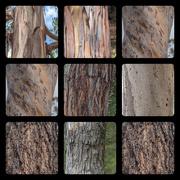 11th Jan 2020 - Eucalypti trunks