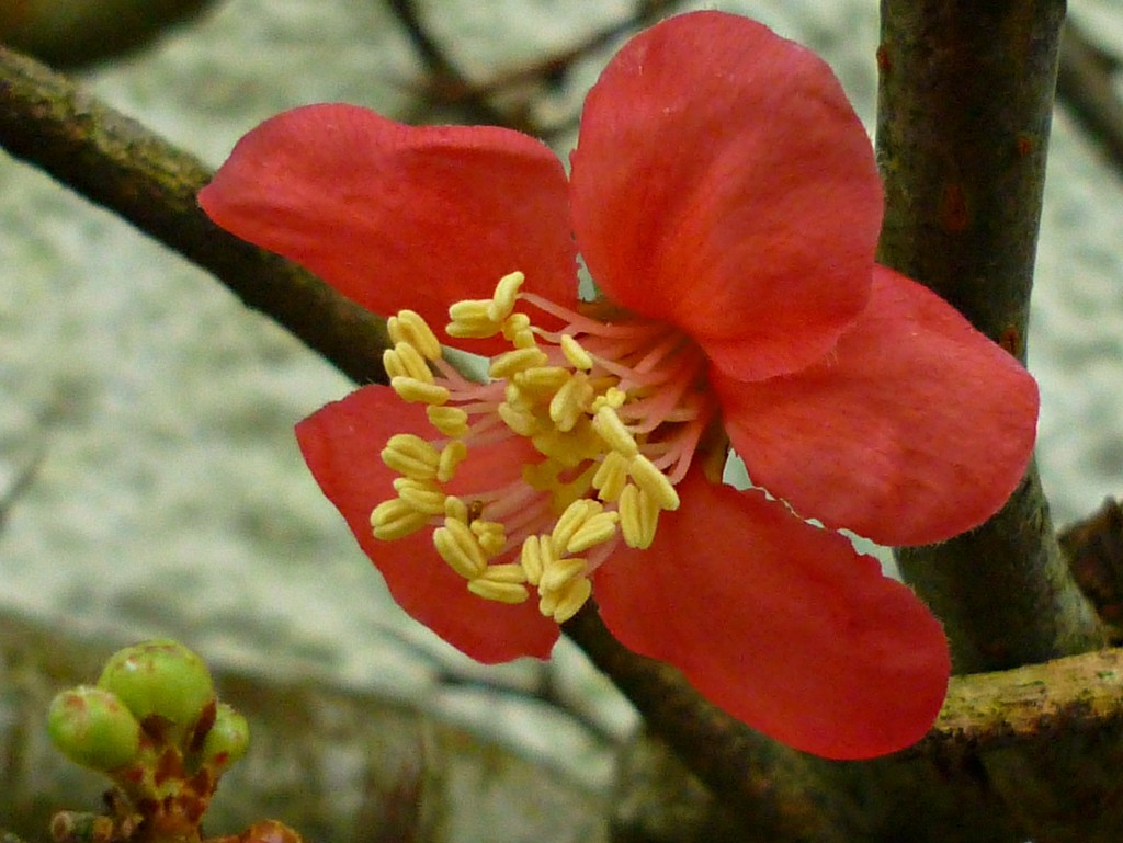 Quince  by countrylassie