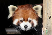 7th Jan 2020 - Red Panda Headshot