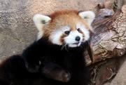 6th Jan 2020 - Baby Panda