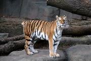 9th Jan 2020 - Tailess Tiger