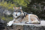 10th Jan 2020 - Apache The Mexican Gray Wolf