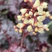 Nursery flower - heuchera