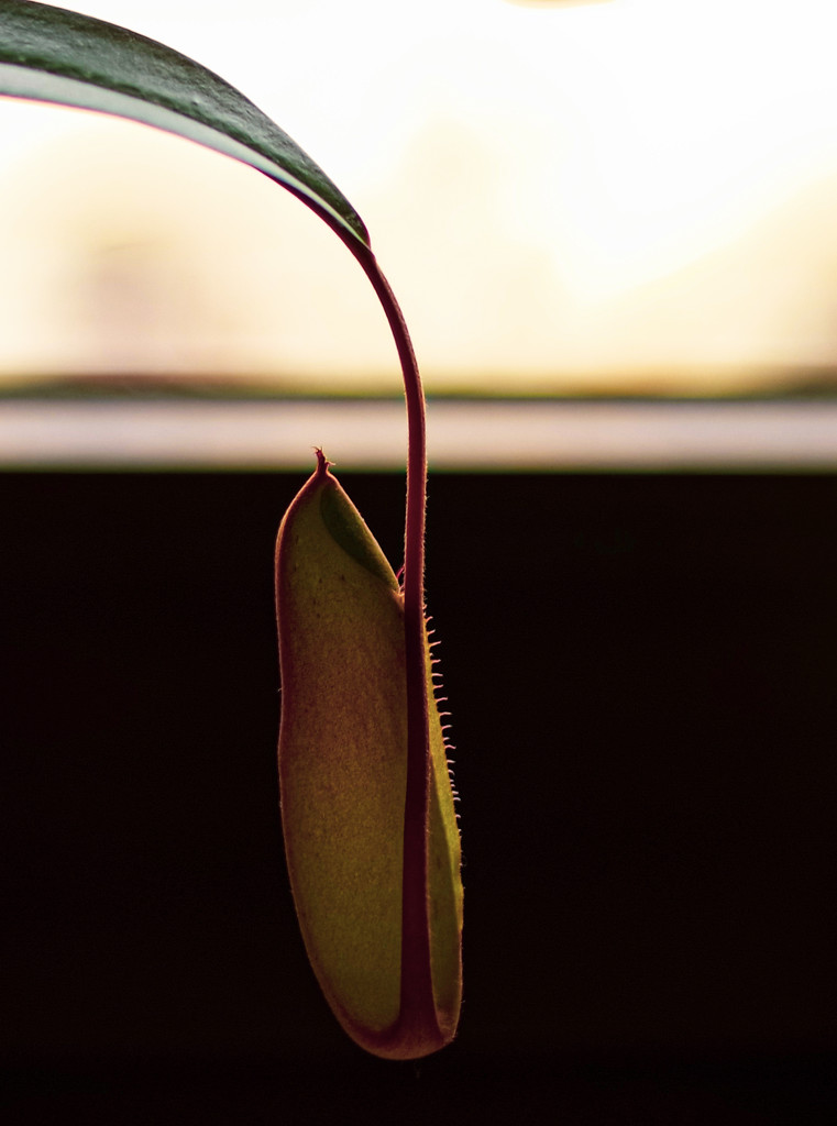 Carnivorous Plant by toinette