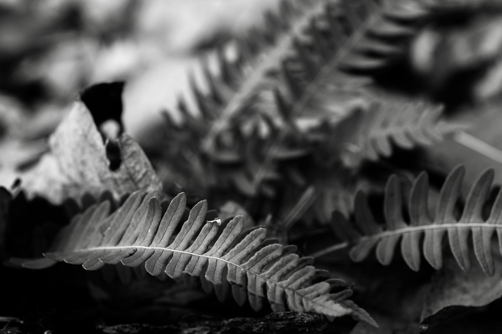Silver Ferns  by mzzhope