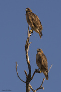 12th Jan 2020 - Red-Tailed Hawk Pair