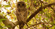 11th Jan 2020 - Barred Owl Watching Over Things!