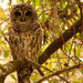 Barred Owl Watching Over Things! by rickster549