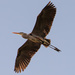 Blue Heron Fly Over! by rickster549