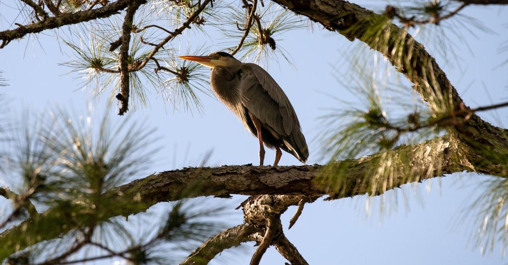 Blue Heron Taking a Break! by rickster549