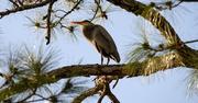 11th Jan 2020 - Blue Heron Taking a Break!