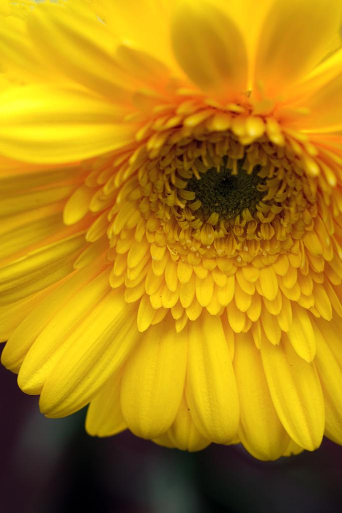 Yellow gerbera by maureenpp