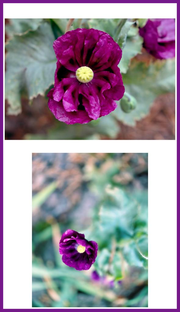 A new poppy by maggiemae