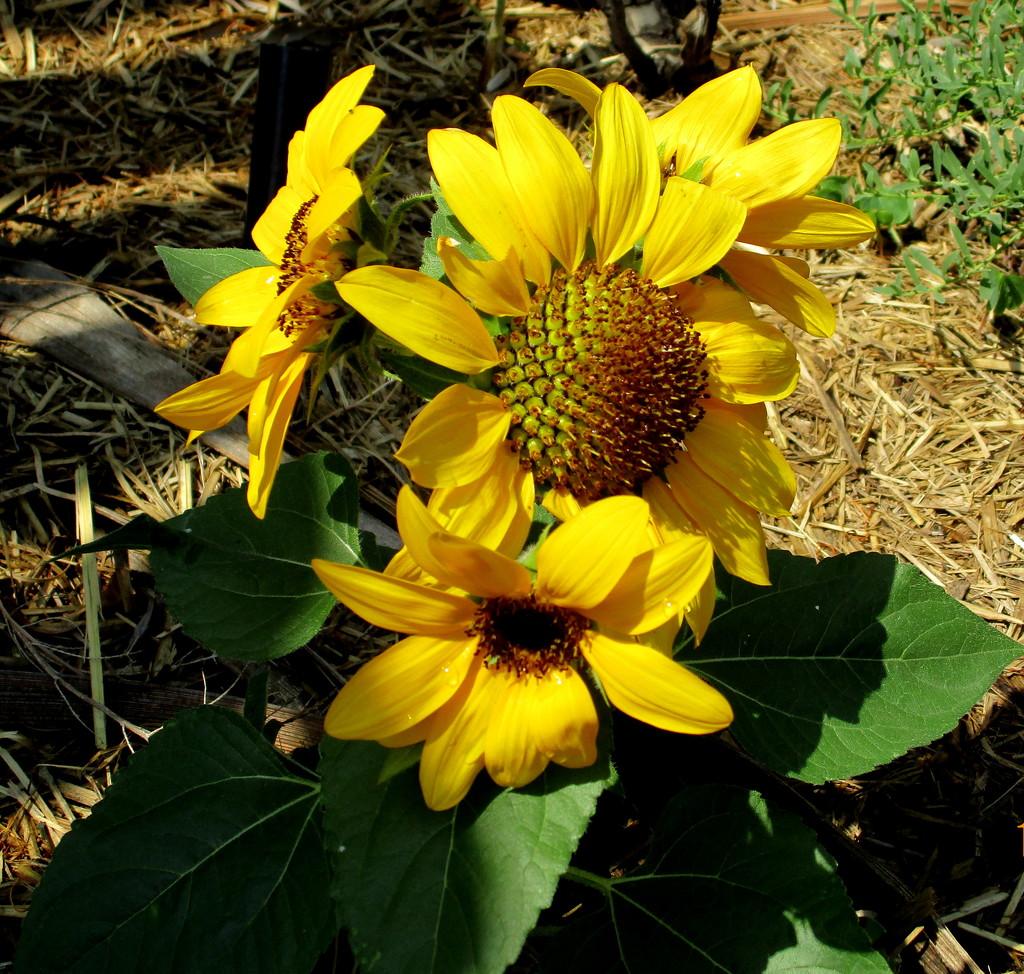 My grand-daughters  Mini Sunflower by 777margo