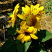 My grand-daughters  Mini Sunflower
