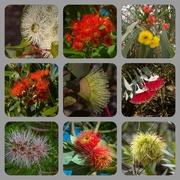 12th Jan 2020 - Eucalypti flowers