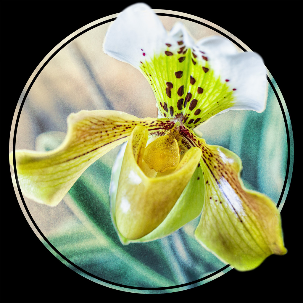 Slipper Orchid by pamknowler