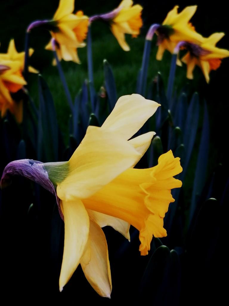 Daffodils by flowerfairyann